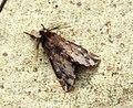 (2013) Plumed Prominent (Ptilophora plumigera) (8184733642).jpg