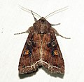 (2160) Bright-line Brown-eye (Lacanobia oleracea) (5698480621).jpg