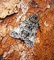 (2278) Poplar Grey (Subacronicta megacephala) (28075747233).jpg