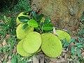 (Artocarpus heterophyllus) Jack fruits on Simhachalam Hills 01.jpg