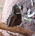 (Euploea core) common crow butterfly at Madhurawada 03.JPG