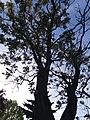 Айлант Антона Горбачевського, вул. С. Бандери, сквер навпроти будівлі №27, м. Чортків.jpg