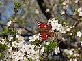 Бабочка павлиний глаз на вишне (метелик павлине око на вишні).jpg