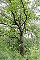 Багатовіковий дуб, м. Чернігів, в урочищі Святе.jpg