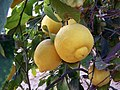 Гостеприимный дворик (Лимоны) - panoramio.jpg