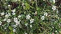 Гілка куща з жорсткими листочками й квіточками на п'ять пелюсток у Воєводино.jpg