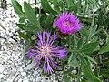 Крейдяні відслонення Centaurea carbonata.jpg