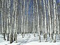 Лыжня.jpg