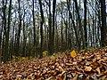 Ліс в с. Давидківці, Хмельницька обл.jpg