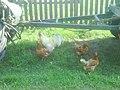 Петух и курицы + трактор с прицепом.JPG