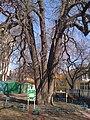 Пятиствольный каштан в городе Симферополь.jpg
