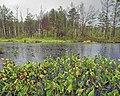 Угруповання-білокрильника-болотяного-на-болоті-перед-с.Біловіж.jpg