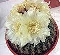仙人掌-金盛球 Echinopsis calochlora -香港花展 Hong Kong Flower Show- (9227081231).jpg