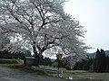 千石町の桜 - panoramio.jpg
