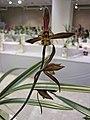 報歲五星級 Cymbidium sinense 'Five-star Class' -香港沙田國蘭展 Shatin Orchid Show, Hong Kong- (25003311902).jpg