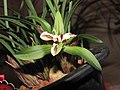 春蘭四喜蝶 Cymbidium goeringii 'Four-Happiness Butterfly' -香港沙田國蘭展 Shatin Orchid Show, Hong Kong- (12303950685).jpg