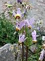 流星花屬 Dodecatheon jeffreyi -維也納高山植物園 Belvedere Alpine Garden, Vienna- (29092594786).jpg