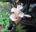翠葉竹芋 Calathea Freddie -香港公園 Hong Kong Park- (9240227358).jpg