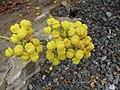 荷包花屬 Calceolaria thyrsiflora -倫敦植物園 Kew Gardens, London- (9216071864).jpg