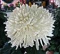 菊花-桃春雨 Chrysanthemum morifolium 'Peach Spring Drizzle' -香港圓玄學院 Hong Kong Yuen Yuen Institute- (11979993215).jpg