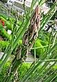 蘆筍(石刁柏) Asparagus officinalis -比利時 Ghent University Botanical Garden, Belgium- (9259214557).jpg