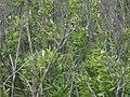 西沙群岛-东岛-凤冠花,可惜没碰上季节,看不到它开花 - panoramio.jpg