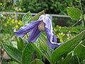 鐵線蓮屬 Clematis × diversifolia -哥本哈根大學植物園 Copenhagen University Botanical Garden- (36724155140).jpg