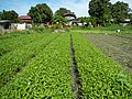0251jfPanoramics Pulilan Fields Plants Philippinesfvf 16.JPG