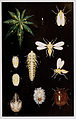 04-Indian-Insect-Life - Harold Maxwell-Lefroy - Aleurodes-ricini-and-Clania soror.jpg