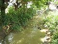 06659jfCandaba Pampanga Fields Duck Farming Bahay Pare Dulong Ilog Bulacanfvf 05.JPG