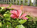 0879jfHibiscus rosa-sinensis Pinkfvf 03.jpg