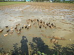 09461jfRoads Paddy fields Domesticated ducks Paligui Candaba Pampangafvf 07.JPG