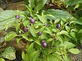0998Ornamental plants in the Philippines 31.jpg