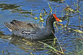 114 Common Gallinule New Mexico.jpg