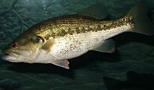 1351 largemouth bass (Micropterus salmoides) 300 dpi.jpg