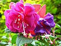 1850 - Salzburg - Mirabellgarten - Roses.JPG