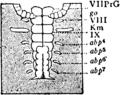 1911 Britannica-Arachnida-Brauer2.png