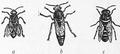 1911 Britannica - Bee - Hive bee.png