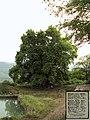 "2000 y.o. Plane-tree ""Chinar"", Artsakh, Armenia - panoramio.jpg"