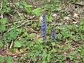2009-05-14 Ajuga reptans (Carpet Bugle) im Haltgraben (Frankenfels).jpg