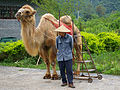20090502 Yangshuo bactrian camel 6160.jpg