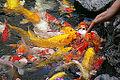 20091007 Koi Fish Shanghai 7301.jpg