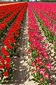 2010-04-29-tulpen-by-RalfR-14.jpg