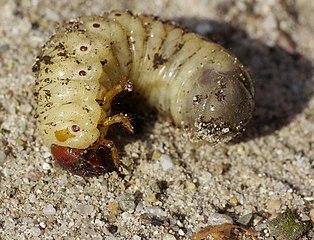 Nosorožtek obyčajný - larva