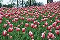 2014-04-04 石象湖 郁金香 liuzusai - panoramio (58).jpg