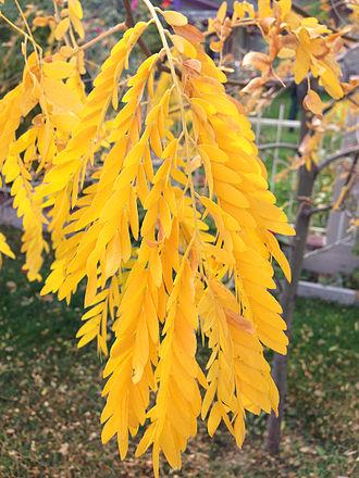 Honey locust - Autumn leaf color