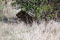 2014-11-23 052 Panthera leo anagoria.JPG