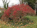 2014-12-30 11 31 17 Barberry bush along River Road (New Jersey Route 175) in Ewing, New Jersey.JPG