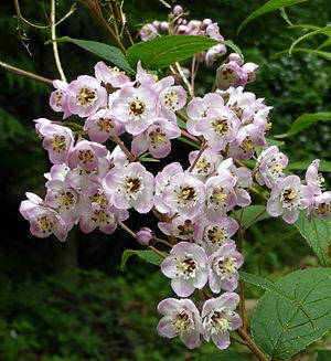Deutzia - Deutzia hookeriana at UBC Botanical Garden