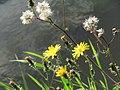 20140920Picris hieracioides2.jpg